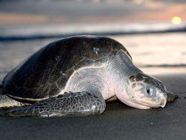 ridley-sea-turtle_688_600x450