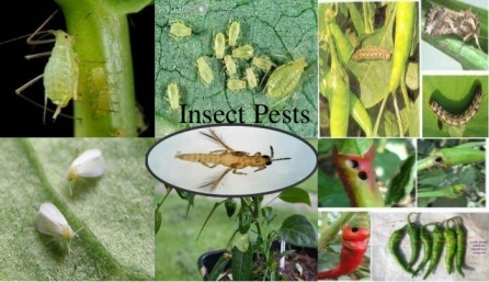 pest-in-crops